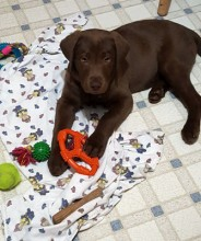 """This is Cooper. He is our 12 week old chocolate lab.  He loves to chew.  He is smart and is learning to live in our """"pack."""""""