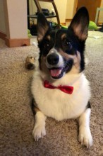 This is Kenobi. He's a 2 year old Pembroke Welsh Corgi who loves chasing birds and squirrels and constant pets from his mom.