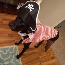 We adopted Jason right after his rear leg was amputated and he's been doing really well on 3 legs. He liked his peg leg for Halloween!