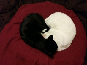 Paisley (F, black) & Trousers (M, white) make hearts when they sleep, and while each heart is just a little different, the love is always the same. They were adopted 3 mos. apart in 2013, from the OAHS, and have been inseparable ever since!
