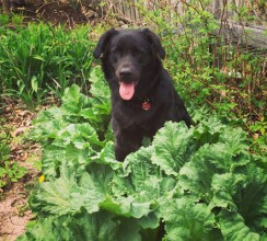 This is Moose. He's 18-months old and about 110lbs. Black lab mix. Adopted from the humane society at 10-weeks. Loves everybody. He's my workshop and garden buddy. Such a looker (just like his dad!) Seen here popping out of the rhubarb. Such a good helper