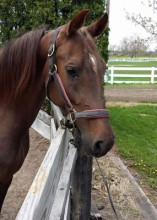 Passion is a nine year old American Saddlebred. Passion's favorite things are apples, going outside with her horse friends, and grabbing onto loose clothing to nibble on.