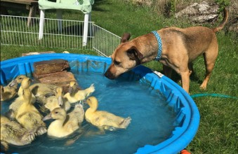Since his adoption at OAHS, Tank has transitioned well to life on the farm. Here he is in his self-appointed role as nanny, supervising the ducklings as they learn to swim.
