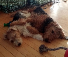 Hi,I'm Marcie and these are my two cuddlers...  Breaccan (wire fox terrier) on left, Millie (Airedale terrier) on the right.