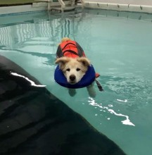 This is one of my rescue dogs, his name is Charles. Charles is 16 year old, Border Collie, Chow, Golden Retriever mix. Charles goes to Swim Dog in Appleton, WI, once a week for Aqua Therapy to help with his arthritis.