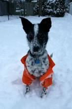 Our energetic Echo is a Heeler/Collie mix; she loves to be outside no matter the weather!