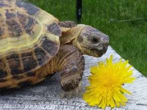 Nadia is an adopted Russian Tortoise.  She has her own wardrobe and Facebook page.  She loves being a minion!