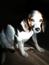 Aspen is our little beagle mix adopted through Midwest Beagle Rescue, Education & Welfare.  She was pulled out of a kill shelter in OH.