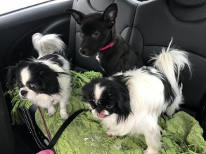 Twins, Rosie, Tyson and friend. On our way to the dog park!