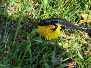 Blueberry is a blue spotted salamander whose spots are easily hidden in the shade but are bright and beautiful in the sun!