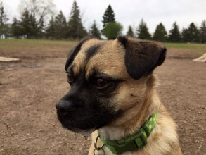 This is Minerva, she is a Pug Chihuahua mix. This was a cold early spring day when we went to the dog park. There were NO other dogs there and she was pretty sad and lonely. Note the excited drool on the side of her mouth!