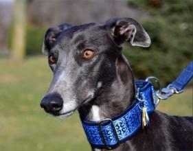 Widget is our 3 yr. old retired racing greyhound adopted through Heart Bound Greyhound Adoption, Inc.