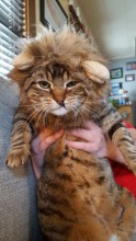 Elvis loves to be lazy and is quite a BIG boy. He especially loves when his owners remind him of his lion ancestors!